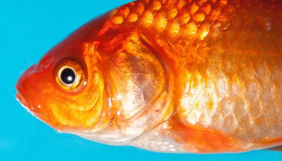 goldfish-365082_1280